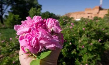 تسجيل ارتفاع ملحوظ في إنتاج الورد الطري بالمغرب