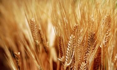 وزارة الفلاحة تتوقع بلوغ محصول الحبوب 61 مليون قنطار