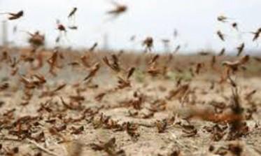 سرب من الجراد يجتاح منطقة فلاحية بالقنيطرة ويدمر حقول الأفوكا والتوت