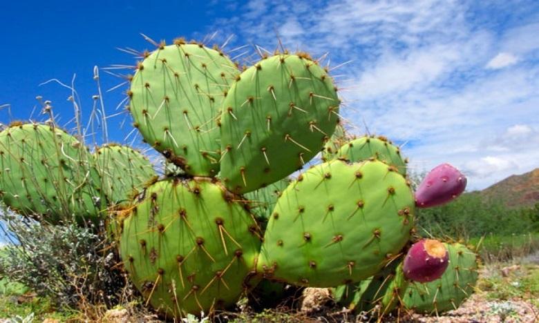 Deux unités de valorisation du cactus et de l'olivier en projet à Sidi Ifni