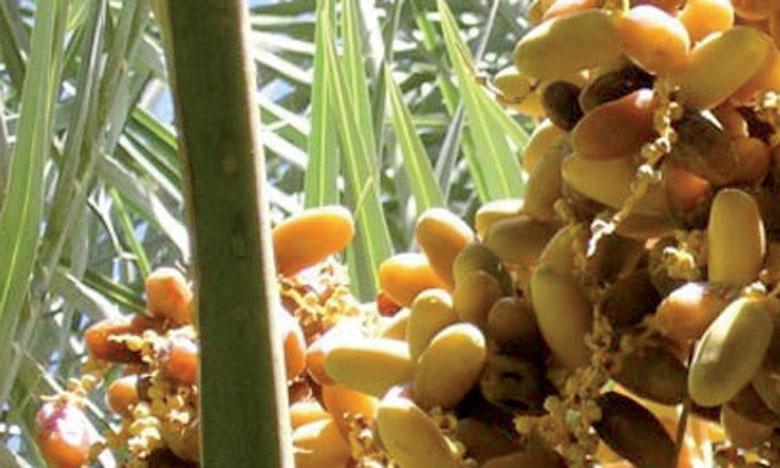 Le Salon international des dattes du Maroc mettra en avant les quatre  régions productrices du Royaume.