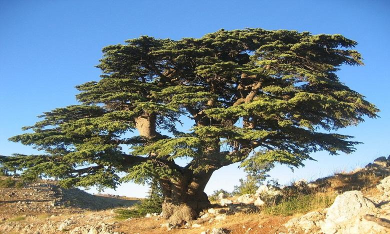 Lorsque les arbres tentent de résister à la sécheresse, ils se vident de leur stock de carbone et produisent moins de glucides, ce qui les rend plus vulnérables. Ph. DR.