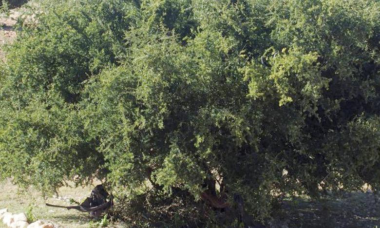 L'arganier, qui affectionne les hautes températures (jusqu'à 50°C) couvre actuellement 870.000 hectares représentant environ 17% de la superficie forestière marocaine.     Ph. DR