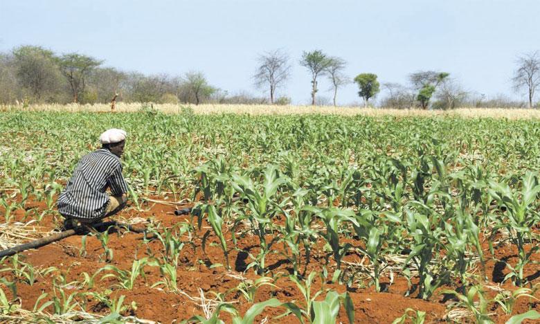 Avec un réchauffement de 1,5 à 2°C, sécheresse et aridité rendront entre 40 et 80% des terres agricoles impropres à la culture du maïs, du millet et du sorgho à l'horizon2030-2040.