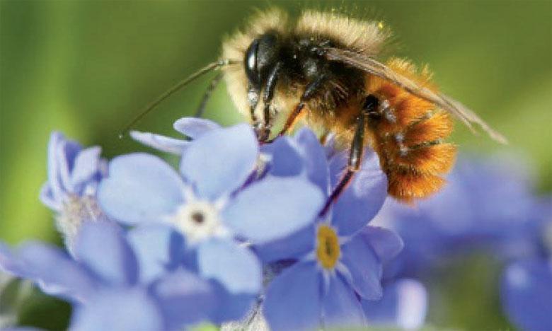 Près de 35% de la production agricole mondiale dépend des pollinisateurs qui améliorent les rendements de 87% des plantes vivrières les plus cultivées.Ph. DR