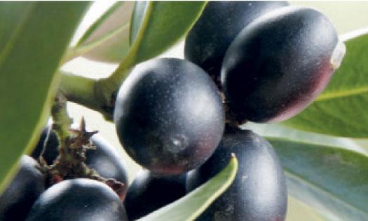 Le Maroc mise sur les olives noires confites